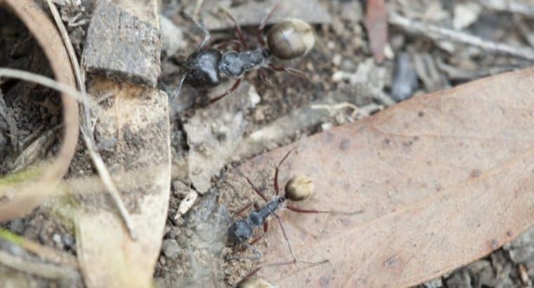 Camponotus suffusus bendigensis with 14 workers