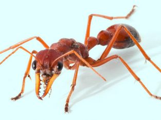 [Looking for/want to buy] Myrmecia Gulosa