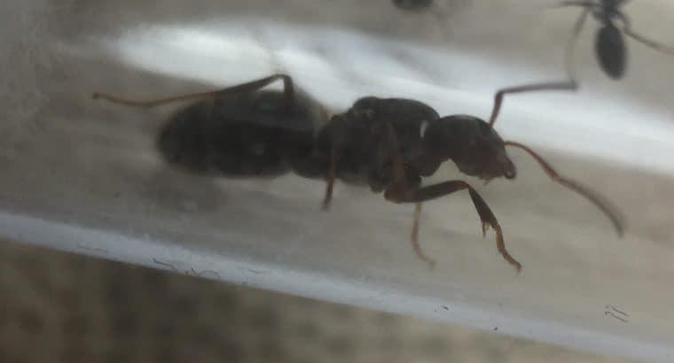 iridomyrmex bicknelli colonies